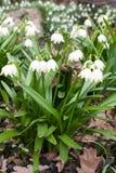 Première vue de plan rapproché de fleurs blanches de ressort de perce-neige image stock