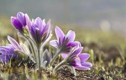 Premières fleurs Images libres de droits