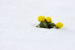 Premières fleurs Photo stock