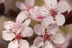Premières fleurs d'arbre de rose de source Photos libres de droits