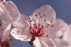 Premières fleurs d'arbre de rose de source Image stock