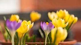 Premières fleurs de crocus Image stock