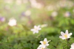 Premières fleurs de forêt de ressort Photographie stock
