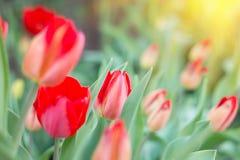 Premières fleurs de ressort, rouges images stock