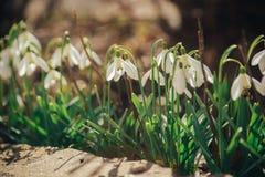 Premières fleurs, fond de ressort Image libre de droits