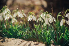 Premières fleurs, fond de ressort Photo stock