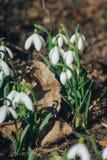 Premières fleurs, fond de ressort Photo libre de droits