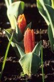 Premières tulipes de source Images stock