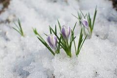 Premi?res fleurs de ressort dans la neige photographie stock libre de droits