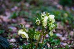 Premi?res fleurs de source photographie stock