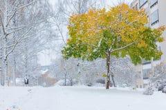 Premier arbre de neige et d'érable dans des couleurs d'automne Photos stock