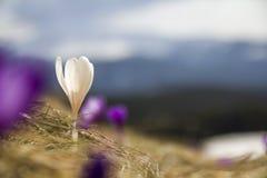 Premier crocuse violet et blanc lumineux stupéfiant de floraison merveilleux Photo stock
