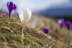 Premier crocuse violet et blanc lumineux stupéfiant de floraison merveilleux Photos libres de droits