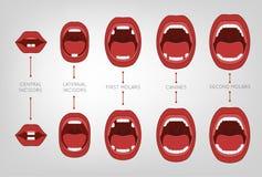 Premier diagramme de dents de bébé Photo stock