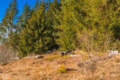 Premier jour de texture de roche de ressort et de pins verts Images stock