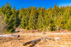 Premier jour de texture de roche de ressort et de pins verts Images libres de droits