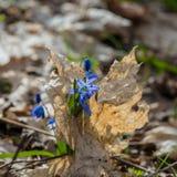 Premier mois de fleur-mars de ressort Image libre de droits