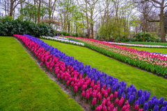 Premier rose frais de ressort, pourpre, ampoules blanches de jacinthe Parterre avec des jacinthes en parc de Keukenhof, Lisse, Ho Image libre de droits