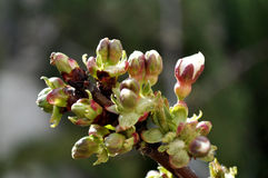 Premiers bourgeons de cerise Photo libre de droits