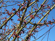 Premiers bourgeons de source photos libres de droits