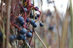 Premiers raisins photo stock