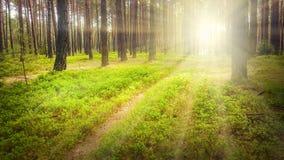 Premiers rayons de soleil dans la forêt de pin Photo stock