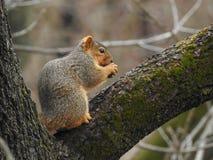 Premio del ` s dello scoiattolo Immagine Stock Libera da Diritti