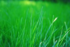 Fresh green grass of spring royalty free stock photo