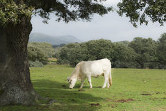 A premium white cow. Royalty Free Stock Photo