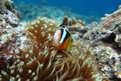 PREMNAS BIACULEATUS(Amphiprioninae) Royalty Free Stock Photo