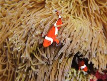 PREMNAS BIACULEATUS(Amphiprioninae) Royalty Free Stock Photos