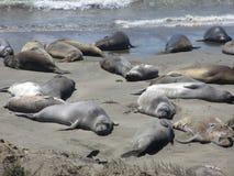 Prenant un bain de soleil des otaries sur la plage, route aucune 1, la Californie, Etats-Unis Photographie stock libre de droits