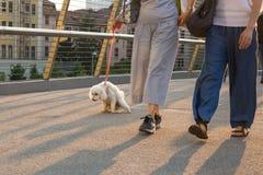 Prenda il cane a pipi - pipi del barboncino su un ponte urbano fotografie stock libere da diritti
