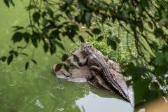 Prenda il sole nel siamensis del sole-coccodrillo-Crocodylus Immagini Stock Libere da Diritti