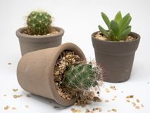 Prenda prego la cura dei cactus Immagini Stock