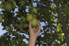 Prenda un limone con la vostra mano Fotografia Stock
