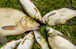 Prendedor de peixes brancos na grama. Vara da barata da brema Fotografia de Stock