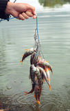 Prendedor de pesca. Imagens de Stock Royalty Free