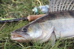 Prendedor de pesca - zander Foto de Stock