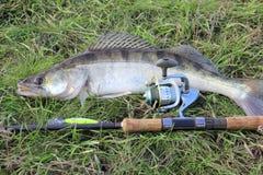 Prendedor de pesca - zander Fotos de Stock
