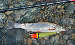 Prendedor dos peixes    Imagens de Stock