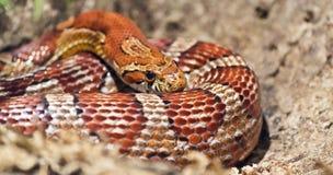 Prendere il sole del serpente Fotografia Stock