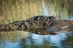 Prendere il sole dell'alligatore americano Fotografia Stock