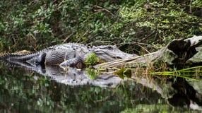 Prendere il sole dell'alligatore del toro della palude di Okefenokee Immagini Stock