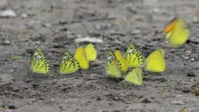 Prendere il sole della farfalla stock footage