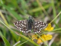 Prendere il sole grigio di malvae di Pyrgus della farfalla del capitano Fotografia Stock Libera da Diritti