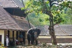 Prendre soin des éléphants, Guruvayoor Image stock