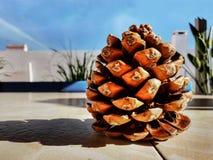 Prendre un bain de soleil d'isolement de cône de pin photos libres de droits