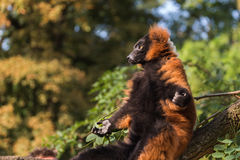 Prendre un bain de soleil de lémur ruffed par rouge photo libre de droits