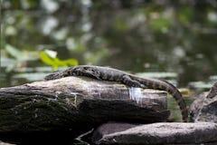 Prendre un bain de soleil de Leguaan Photographie stock libre de droits